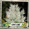 Sativa Femm - LIME CAKE - Biological Seeds