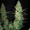 Sativa Femm HAWAII MAUI WAUI Nirvana Seeds