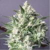Indica Auto - WHITE GOLD 18K - Biological Seeds