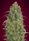 Ibridi Auto - STRAWBERRY GUM - Advanced Seeds