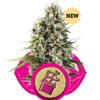 Sativa Femm CHOCOLATE HAZE Royal Queen Seeds