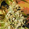 Indica Femm - SOMANGO WIDOW - Advanced Seeds