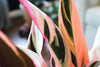 Meet the: Stromanthe Sanguinea 'Triostar' Prayer Plant