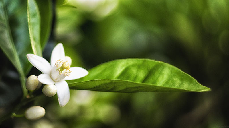 Neroli comes come the orange blossom tree
