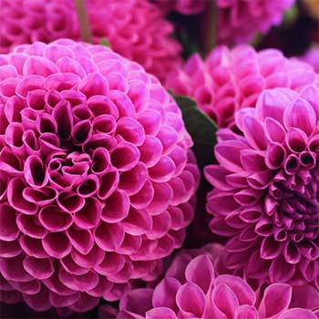 Chrysanthemum flower arrangements