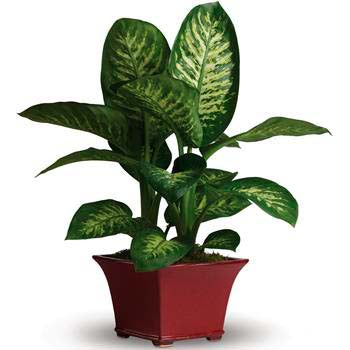 Potted house plant gift's