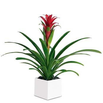 Buy tropical bromeliad plant - Best seller