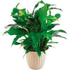 Send potted flowering foliage plant | Gift plants