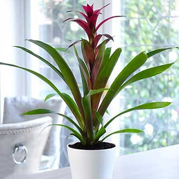 Modern Tropical Bromeliad Potted Plant
