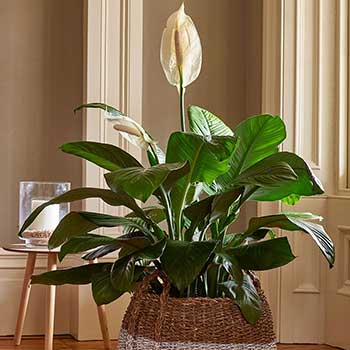 Potted Flowering Foliage Plant Gift