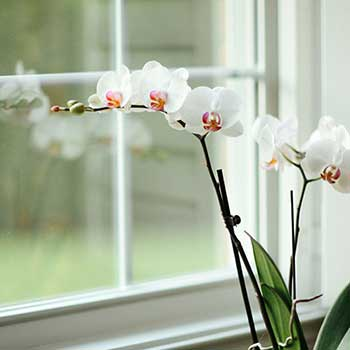 Send long lasting flowering orchid plant