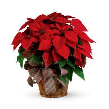Red Poinsettia Christmas gift plant 'delivery included'