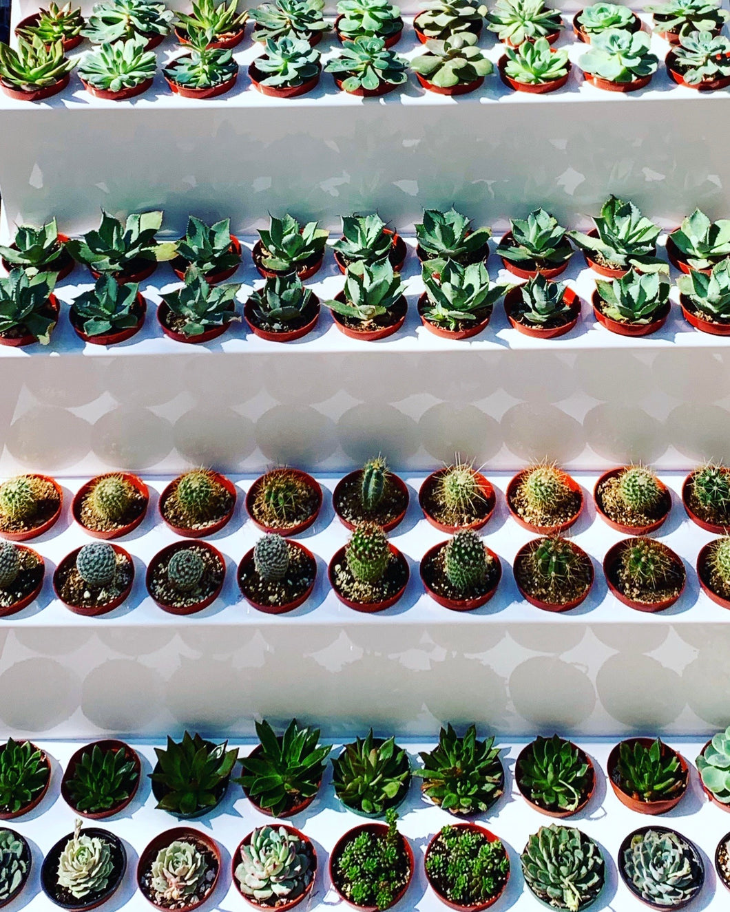 "Single 4"" Succulent - each delivery will vary based on stock availability."