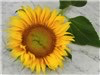 Yellow Pygmy Sunflower