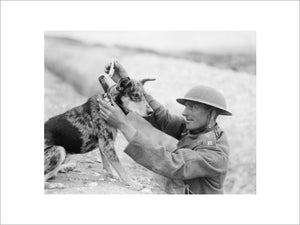 A Sergeant of a Royal Engineers signals section puts a message into the cylinder attached to the collar of a messenger dog, Etaples, 28 August 1918.