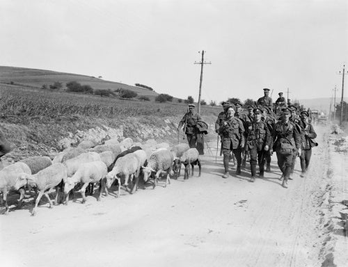 British infantry retiring from Verneuil driving a flock of sheep before them, 29 May 1918.