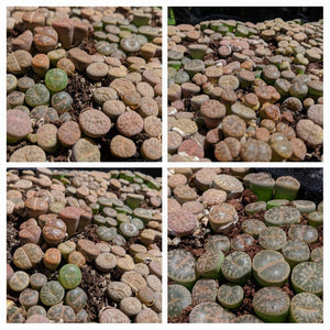 Lithops A🌵Living stones🌵  5 healthy Plants: Dark green & Light Brown