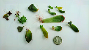Assorted Succulent Leaf Cuttings x 8 🌱 Good collection for succulent lover 🌱