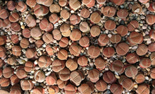 Load image into Gallery viewer, Lithops🌵 Living stones  🌵 2  Large Plants
