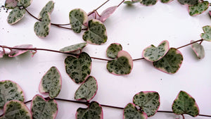 Variegated Ceropegia woodii 💗 chain of hearts 💗  5 x mature rooted strands