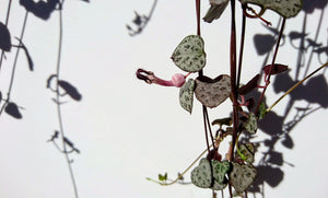 Variegated & Non-Variegated Mix: Ceropegia woodii 💗💚 chain of hearts💚 💗 8 x Fresh cuttings (un-rooted)
