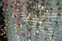Load image into Gallery viewer, Variegated Ceropegia woodii 💗 chain of hearts 💗 5 Fresh cuttings 15 - 40 cm