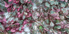 Load image into Gallery viewer, Variegated & Non-Variegated Mix: Ceropegia woodii 💗💚 chain of hearts💚 💗 8 x Fresh cuttings (un-rooted)
