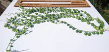 Load image into Gallery viewer, Senecio Rowleyanus 🌿 String of Pearls 🌿 5 x Long fresh cuttings 10 ~ 16 inch