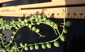 Senecio Rowleyanus 🌿 String of Pearls 🌿 5 x Long fresh cuttings 10 ~ 16 inch