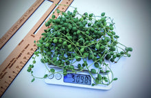 Load image into Gallery viewer, 🌱 Senecio Rowleyanus / String or pearls / bunch of fresh cuttings 🌱