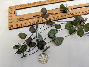 CEROPEGIA WOODII ❤︎ Chain of Hearts ❤︎ 5 Fresh cuttings 10 - 30 cm