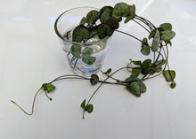Load image into Gallery viewer, Ceropegia woodii 💚 chain of hearts 💚 7 x Fresh cuttings (un-rooted)