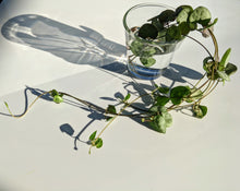 Load image into Gallery viewer, CEROPEGIA WOODII ❤︎ Chain of Hearts ❤︎ 5 Fresh cuttings 10 - 30 cm