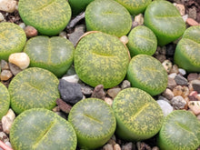 Load image into Gallery viewer, Lithops B 🌵Living stone🌵 3 Healthy Plants : Light Green