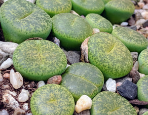 Lithops B 🌵Living stone🌵 3 Healthy Plants : Light Green