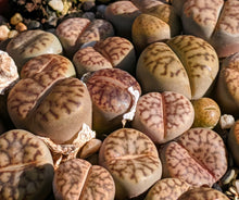 Load image into Gallery viewer, Lithops D🌵Living stone🌵 3 Healthy Plants: Dark Brown