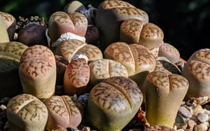 Lithops D🌵Living stone🌵 3 Healthy Plants: Dark Brown