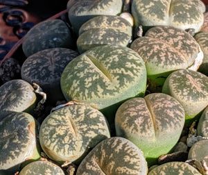 Lithops F 🌵Living stone🌵3 Healthy Plants: Dark Green