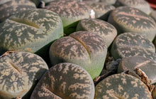 Load image into Gallery viewer, Lithops F 🌵Living stone🌵3 Healthy Plants: Dark Green