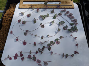 Variegated Ceropegia woodii 💗 chain of hearts 💗 5 Fresh cuttings 15 - 40 cm