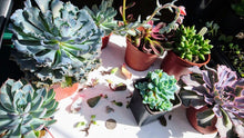 Load image into Gallery viewer, Assorted Succulent Leaf Cuttings x 8 🌱 Good collection for succulent lover 🌱
