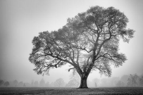 Oak tree in the mist - Beckenham Place Park, London -