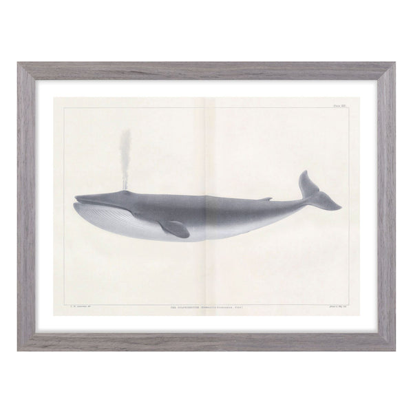 crown and birch vintage whale i