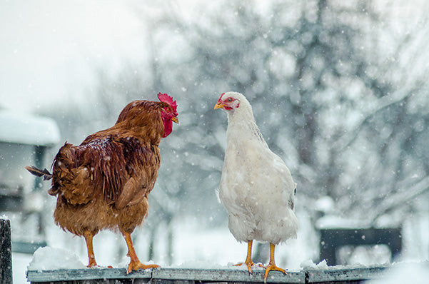 keep chickens warm in the winter