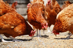 Tips to feeding your chicken problems