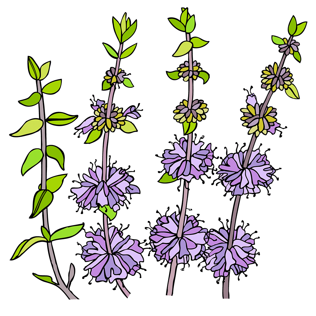 Pennyroyal Seed Collection