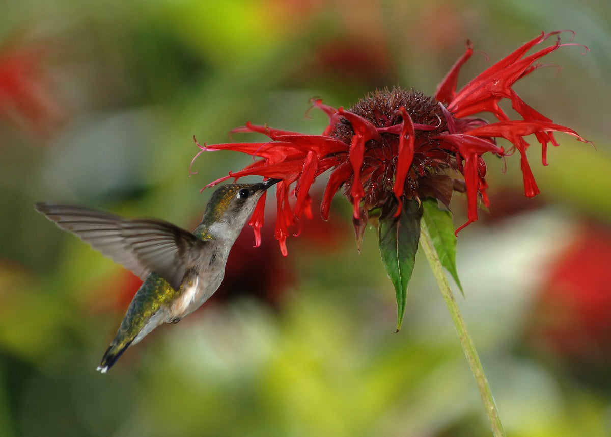 Scarlet Bee Balm