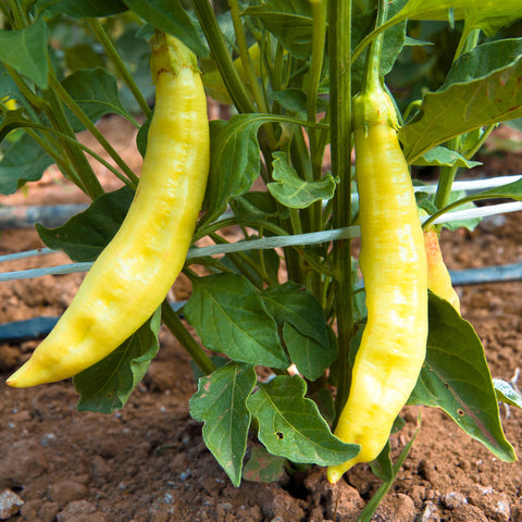 Aji Amarillo Chili Pepper