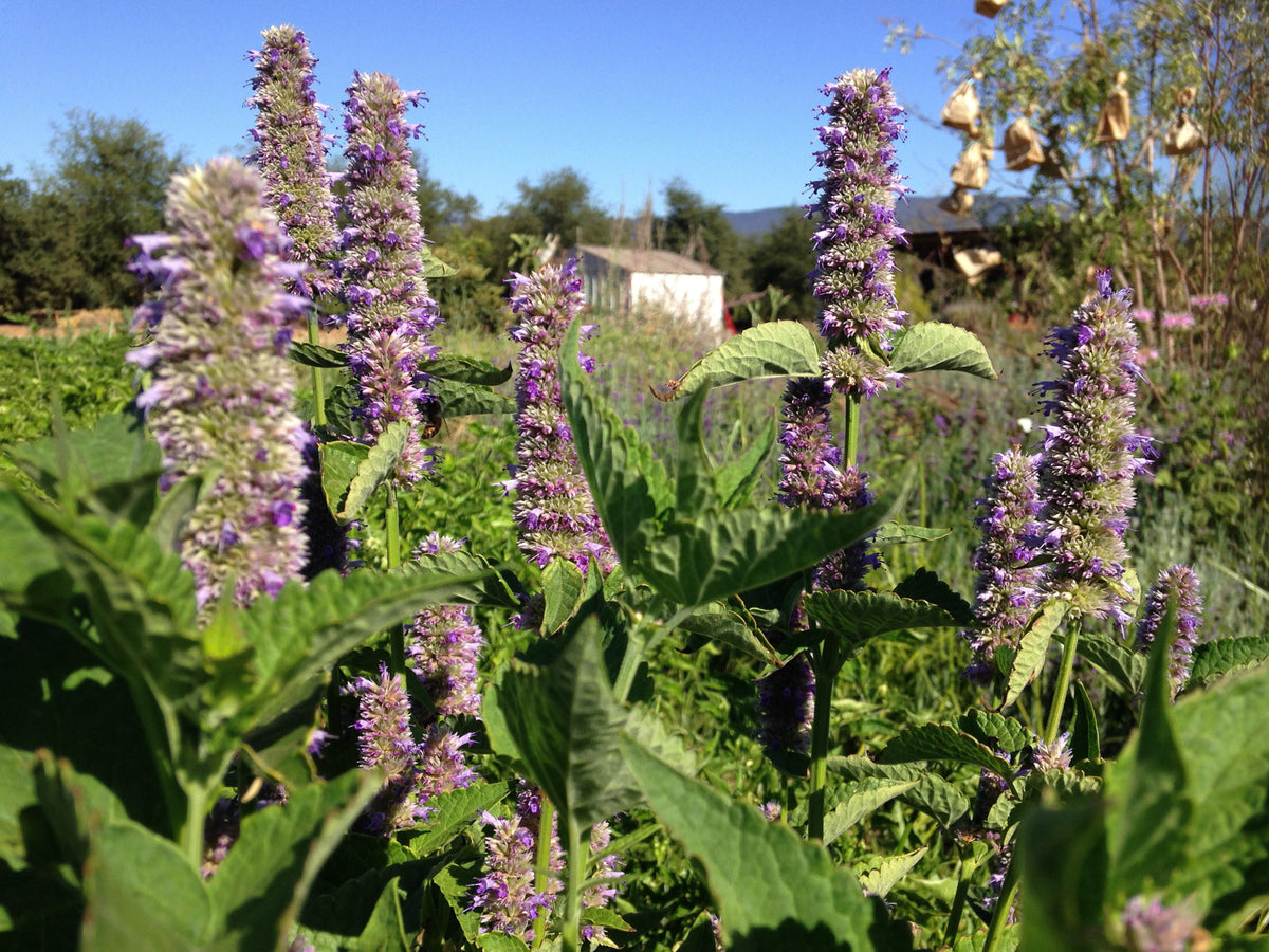 Anise-Hyssop