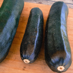 Black Beauty Zucchini